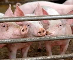 élevage porcin 2